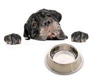 Hungry dog. Dog isolated over white background royalty free stock images