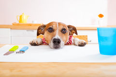 Hungry dog. Jack russell dog sitting at table begging to eat , tablecloths included Stock Photo