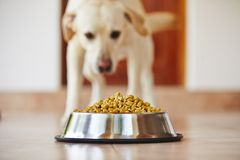 Hungry dog Royalty Free Stock Photos