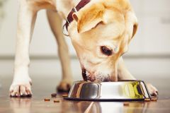 Hungry dog. Hungry labrador retriever is feeding at home Stock Image