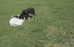 Hungry dog. Looking for food among the trash. Is the dog guilty of throwing garbage on the green grass Stock Photography