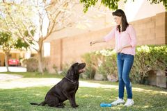Hungry dog looking at woman. Smiling woman enjoying giving food to pet chocolate labrador Stock Photography