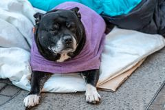 A hungry dog lying alone and depressed on the street feeling anxious and lonely in sleeping bag and waiting for food. The concept. Of homelessness, uselessness royalty free stock images