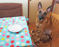Hungry dog Royalty Free Stock Photo