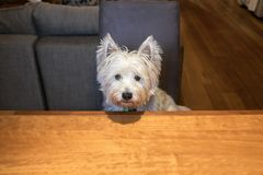 Hungry dog sitting at dining room table begging for food. Hungry dog sitting indoors at dining room table begging for food - with copy space stock images