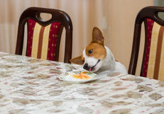 Hungry dog steals food Royalty Free Stock Images