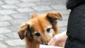 Hungry dog on the street asks for a piece of sausage food from a girl. The dog licks his nose and fingers of a girl. A hungry dog on the street asks for a piece stock video footage