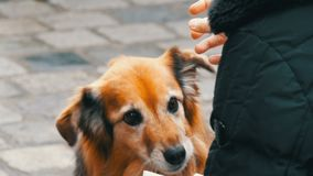 Hungry dog on the street asks for a piece of sausage food from a girl. The dog licks his nose and fingers of a girl. A hungry dog on the street asks for a piece stock video