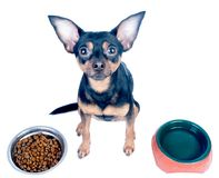Hungry dog, toy terrier, chihuah in front of bowls with food and Royalty Free Stock Photos
