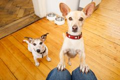 Hungry dogs with food bowl Royalty Free Stock Photography
