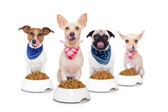 Hungry dogs. Row of dogs as a group or team , all hungry and tonge sticking out ,in front of food bowls , isolated on white background royalty free stock images