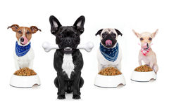 Hungry dogs Royalty Free Stock Photo