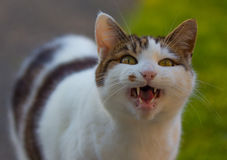 Hungry domestic cat Royalty Free Stock Photo