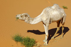 Hungry dromedary in the desert Royalty Free Stock Images