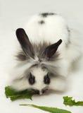 Hungry dwarfish rabbit Stock Photography