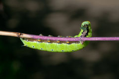 Hungry Eating Caterpillar Royalty Free Stock Images