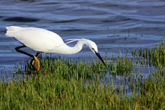 Hungry Egret Royalty Free Stock Photography
