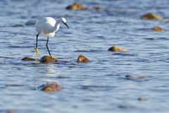 Hungry Egret Royalty Free Stock Photo