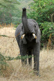 Hungry elephant 3. Hungry elephant extending its trunk to reach food in Serengeti stock images