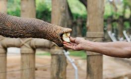 Hungry elephant Stock Photos