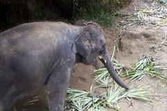 Hungry Elephant Royalty Free Stock Photo
