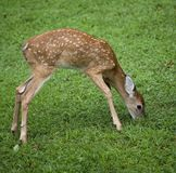 Hungry fawn Stock Image