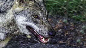 Hungry female Scandinavian wolf Stock Images