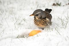 Fieldfare sitting in snow Stock Images