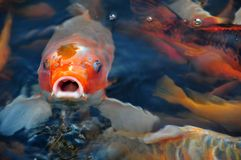 Hungry Fish Royalty Free Stock Photography