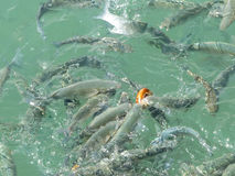 Hungry fishes swirling in sea water fighting for food stock photos