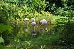 Hungry Flamingos Royalty Free Stock Image