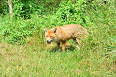 A hungry fox. A wild fox hunting for food Stock Photo