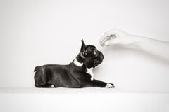 Hungry french bulldog puppy Stock Photos