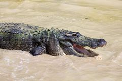 Hungry Gator Stock Images