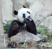 Hungry giant panda Stock Images