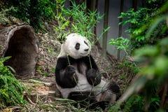 Hungry giant panda Stock Photography