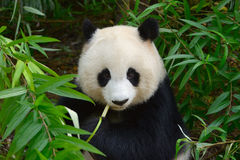 Hungry giant panda bear eating bamboo Stock Photography