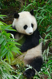 Hungry giant panda bear eating bamboo Royalty Free Stock Photography