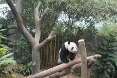 Hungry giant panda bear eating bamboo and seating on the branch.  royalty free stock photo