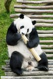 Hungry giant panda eating bamboo.  Royalty Free Stock Photo
