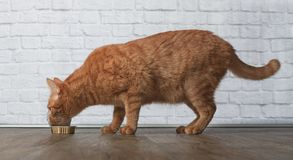 Hungry ginger cat eat food from a food dish. Hungry tabby cat eat food from a food dish sideview Royalty Free Stock Image