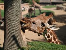 Hungry giraffe royalty free stock images