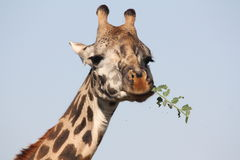 Hungry Giraffe Royalty Free Stock Photo