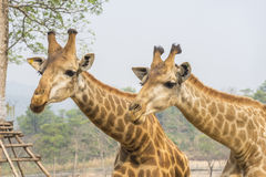 Hungry Giraffe Royalty Free Stock Photos