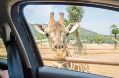 Hungry giraffe waiting for food through a car window Stock Image