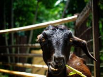 Hungry goat. Eat a grass in the zoo Stock Photography