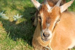 Hungry Goat Laying in the Sun Royalty Free Stock Photography