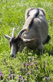 A hungry goat munching its lunch. A mischievous goat grazing in the field, devouring grass and flowers Royalty Free Stock Photo