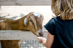 Hungry goat at a petting zoo Stock Photography