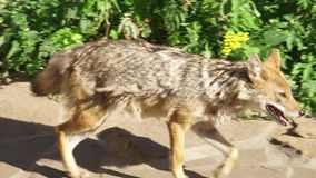 Golden Jackal Sniffing Ground In Forest, Marking Territory